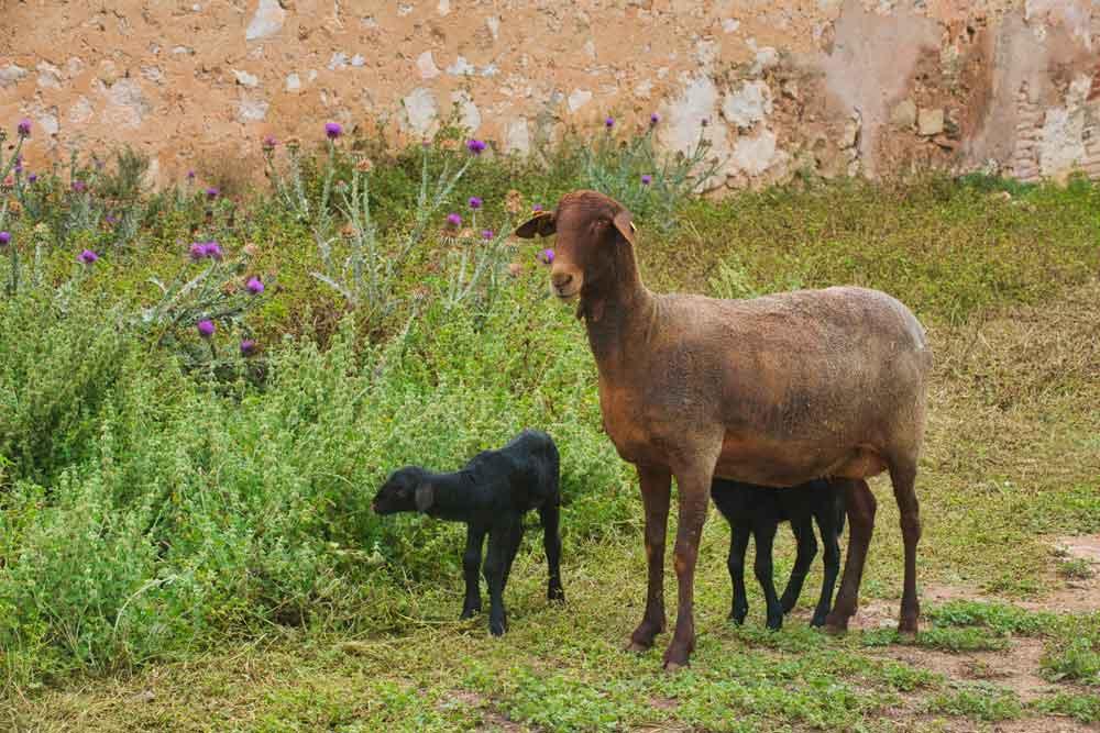 La oveja que habla valenciano se cuela en la dieta saludable de Dénia