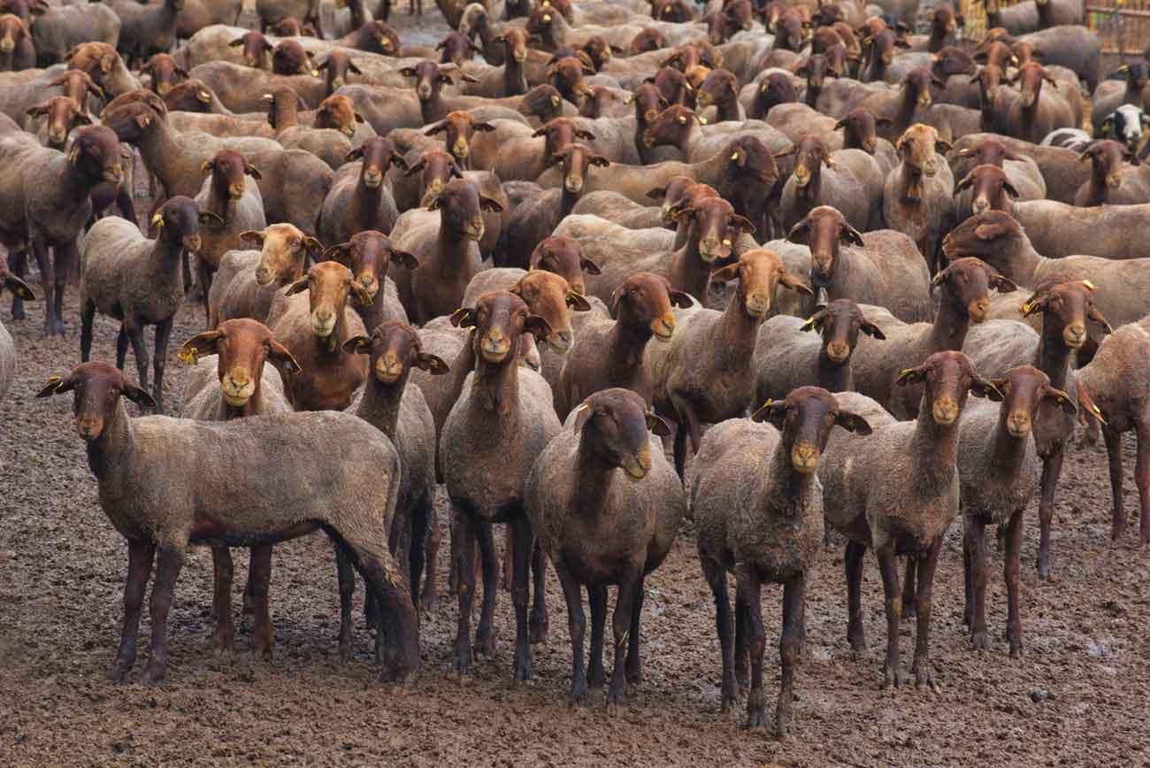 La Guirra, la oveja autóctona valenciana, pace en Dénia
